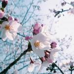 舞鶴公園 花見