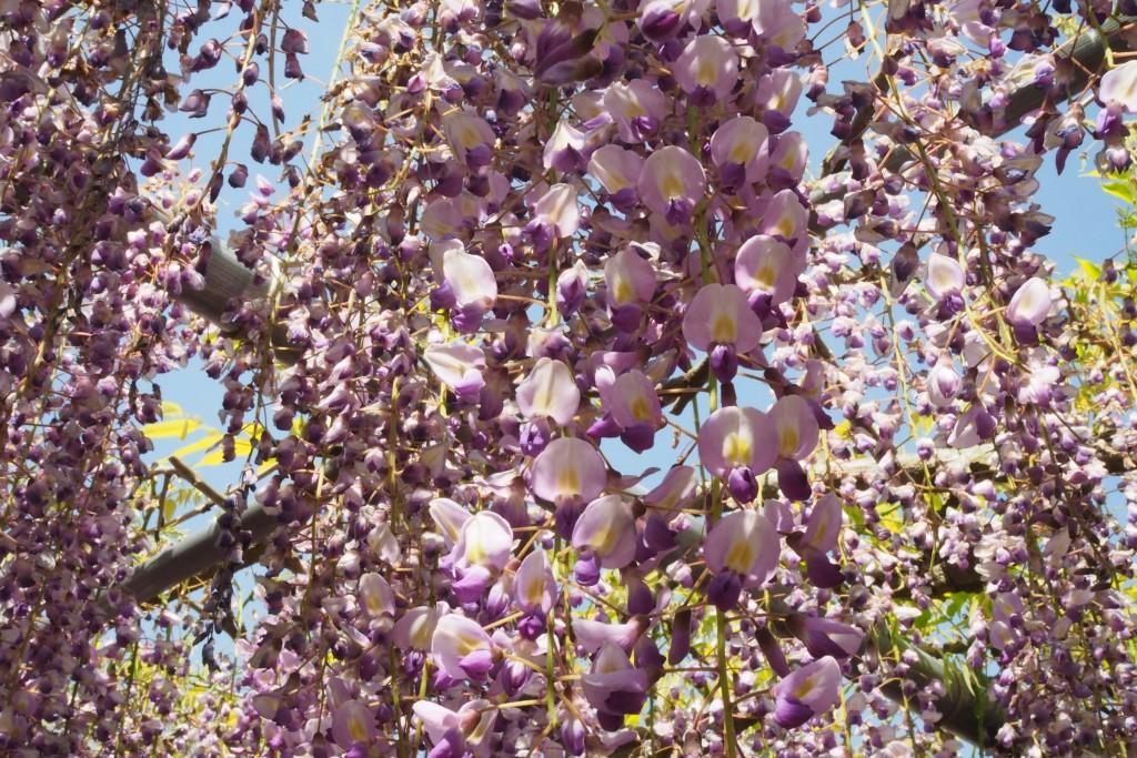 5月5日の開花状況