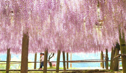 海外でも絶賛!河内藤園の美し過ぎる藤トンネルと大藤棚|北九州市