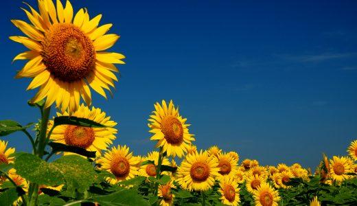 柳川ひまわり園 50万本の大輪の向日葵は、想像を超える絶景!