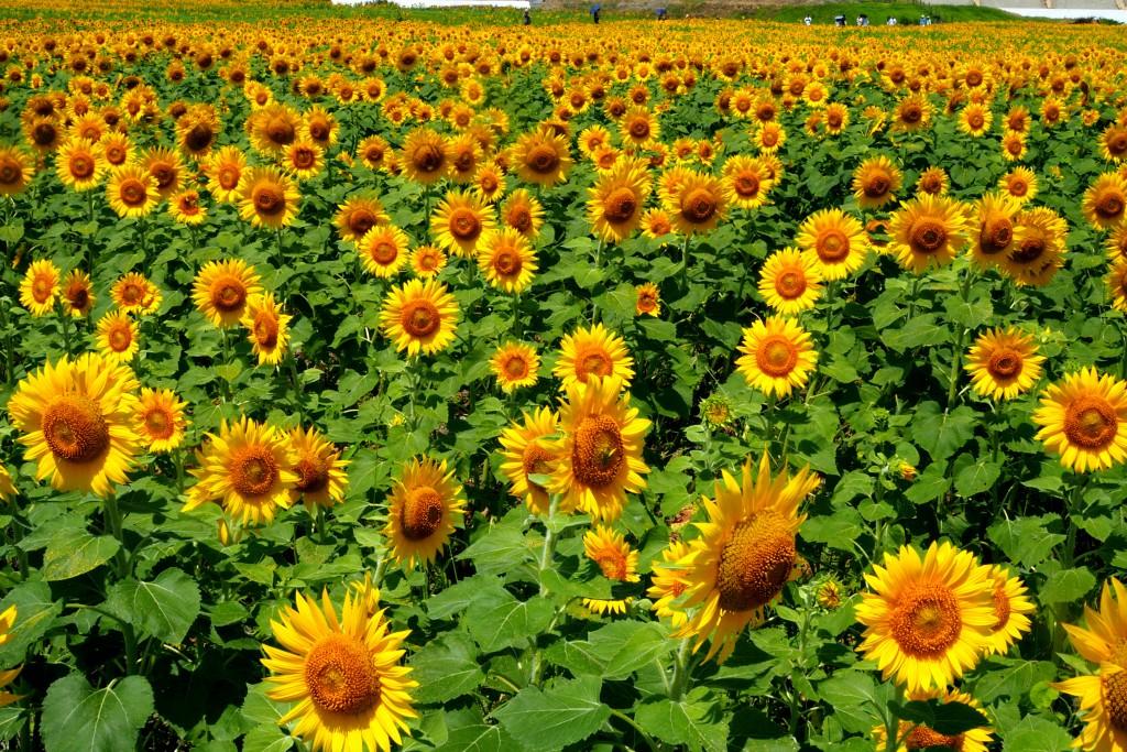 50万本の向日葵は圧巻