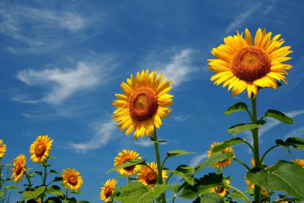 向日葵と夏の空