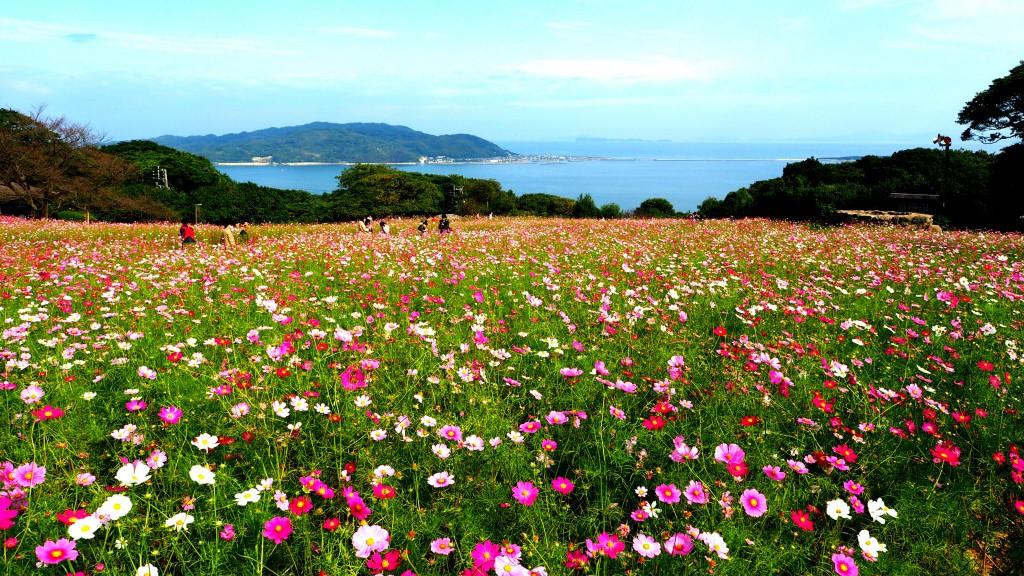 能古島のコスモス