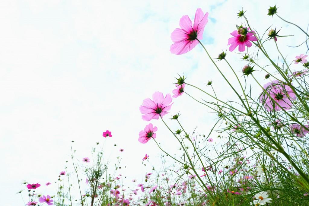 花言葉は、「乙女の純潔」。