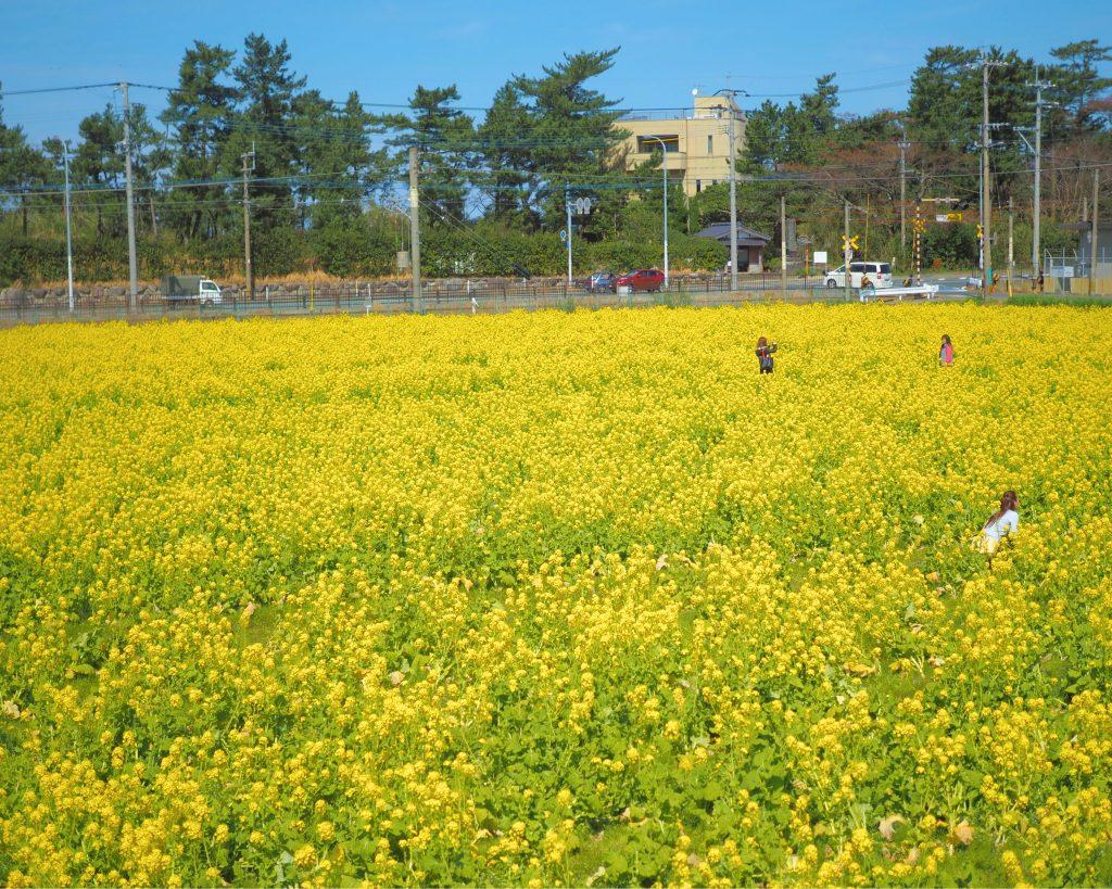福ふくの里の菜の花