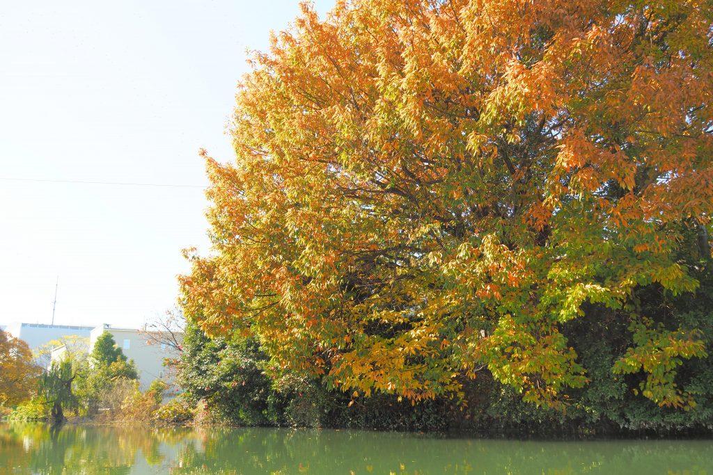 柳川の紅葉