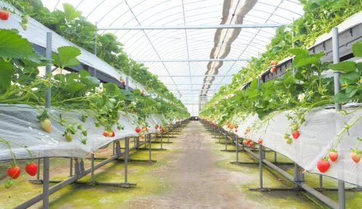 『ストロベリーフィールズ 筑紫野いちご農園』でいちご狩り