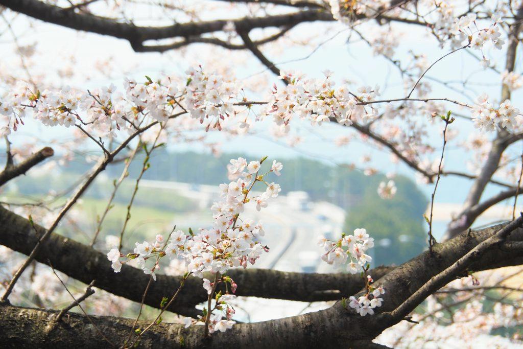 西側展望広場から桜と都市高速