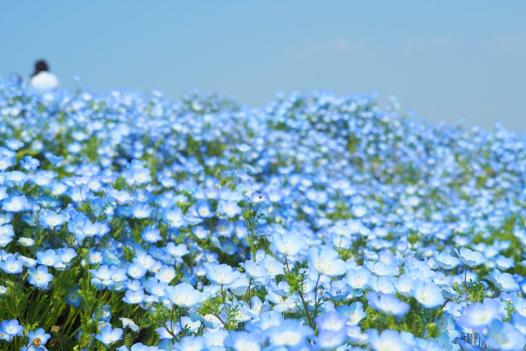 春風にやさしく揺られるネモフィラの花