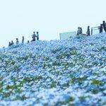 ネモフィラ 花の丘