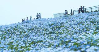 青の絶景!150万本のネモフィラ花畑|海の中道海浜公園