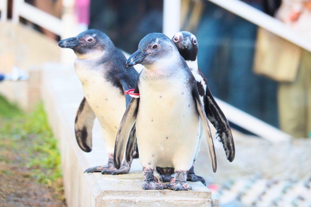 マリンワールドのケープペンギン