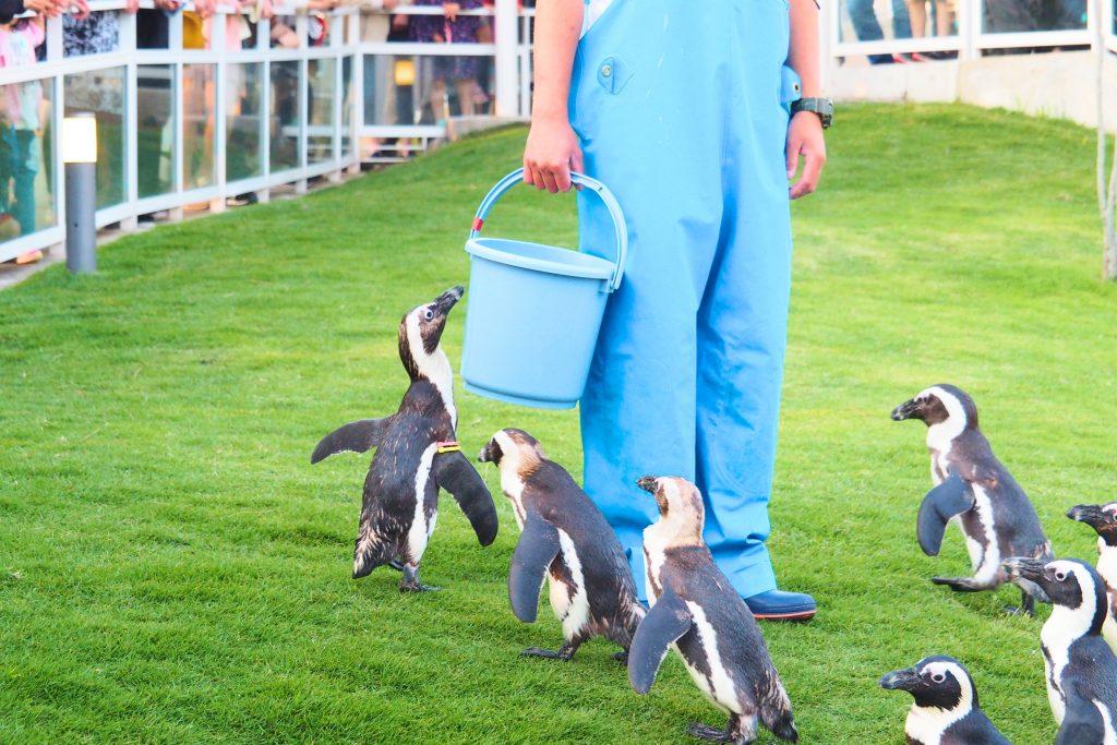餌を欲しがるペンギン