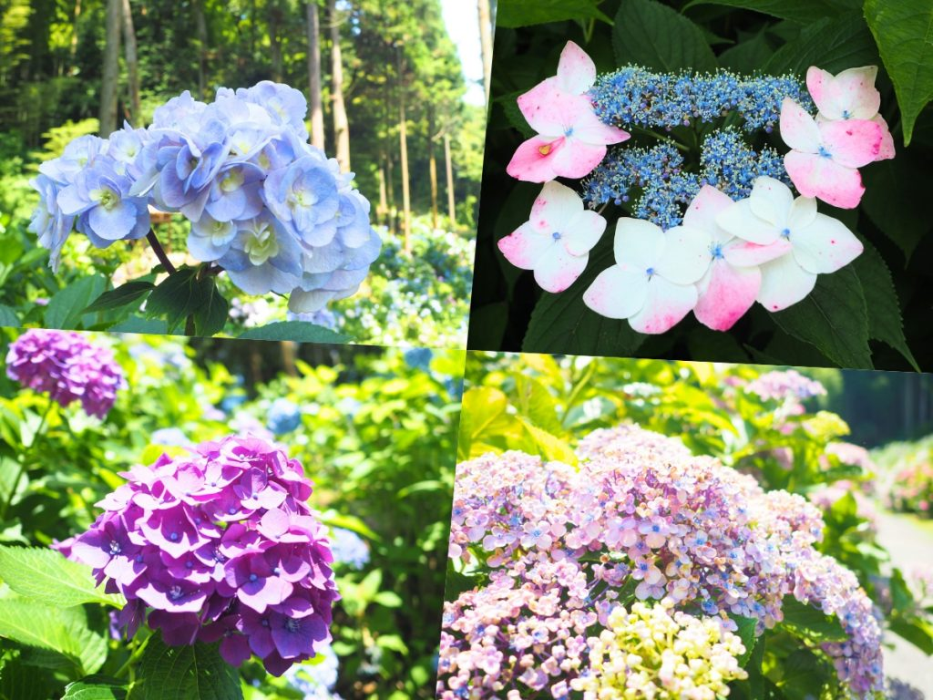 40〜50種の紫陽花