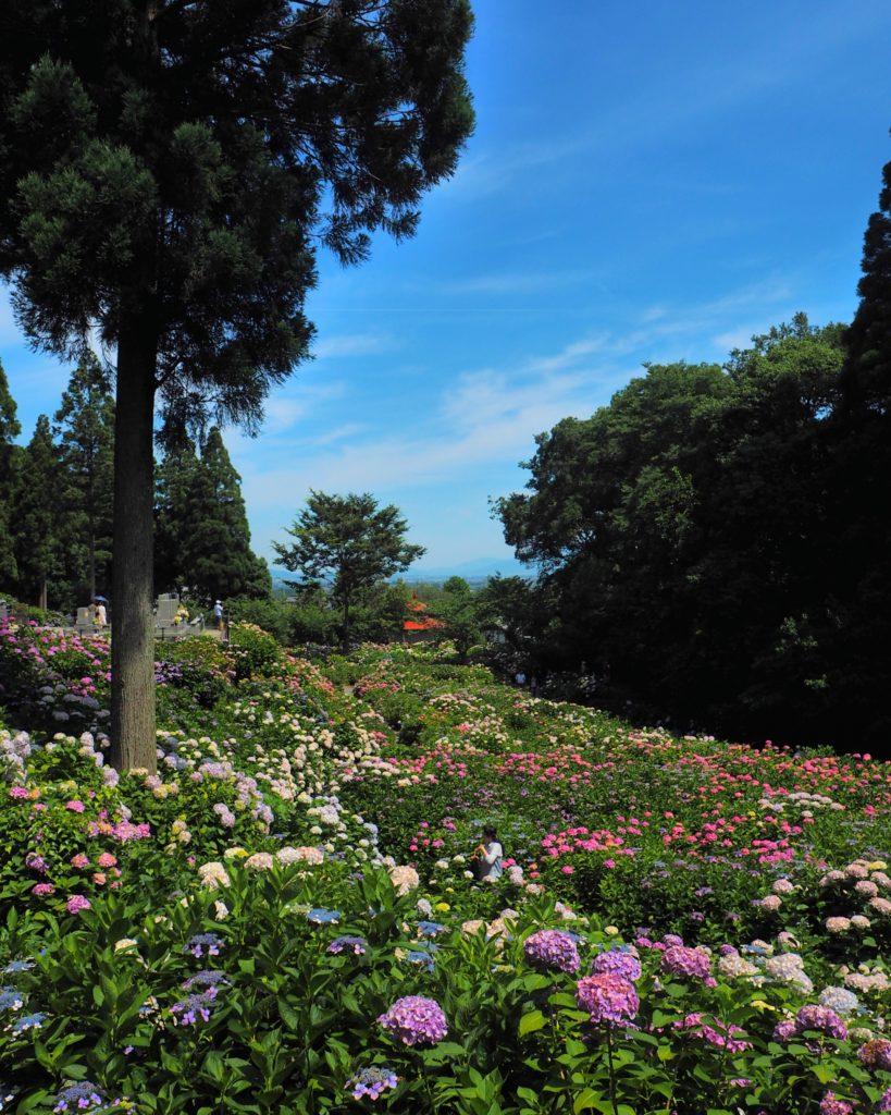 青空の紫陽花