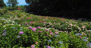 【紫陽花の名所】あじさい寺・千光寺(久留米)− 境内を埋め尽くす約7,000株の絶景