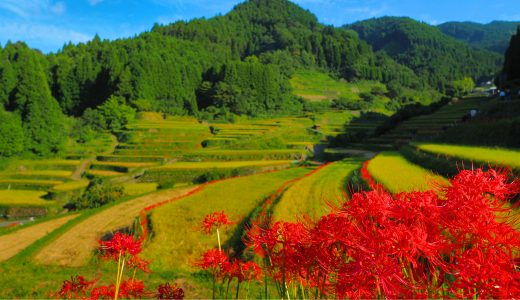 彼岸花の名所「つづら棚田」− うきは市に残る美しい原風景