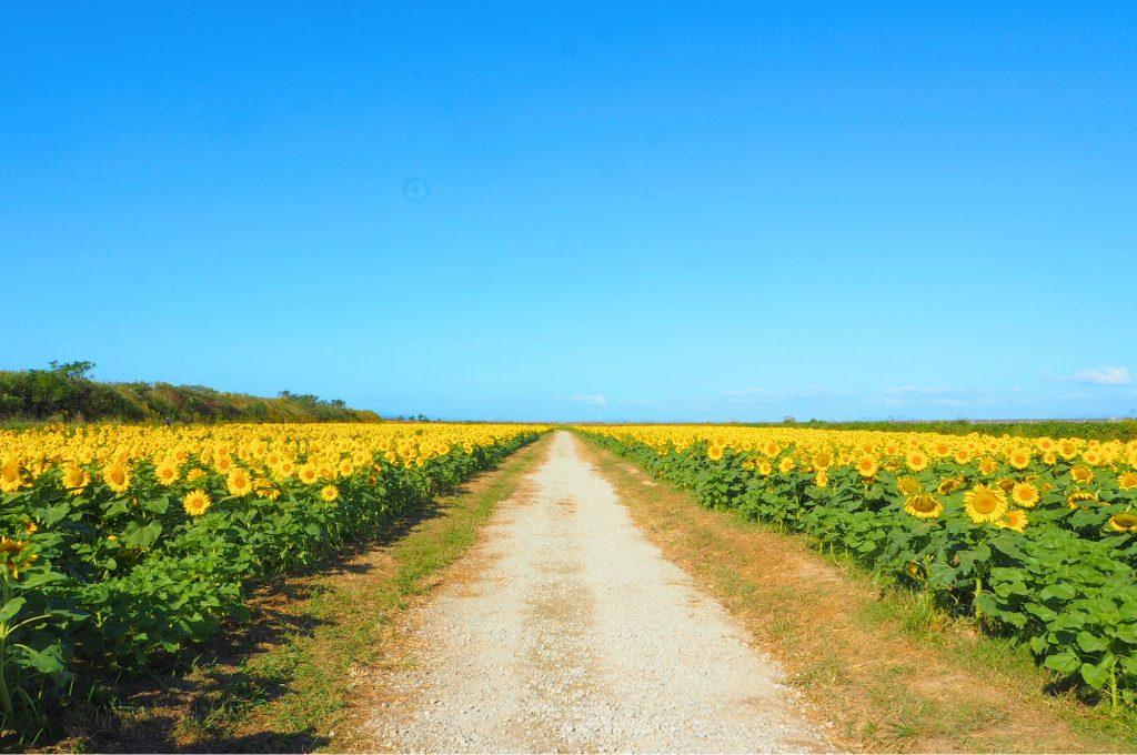 ひまわり畑の一本道