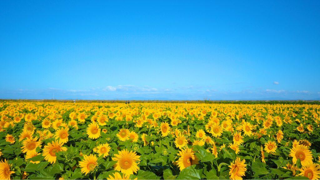 大牟田市のひまわり畑