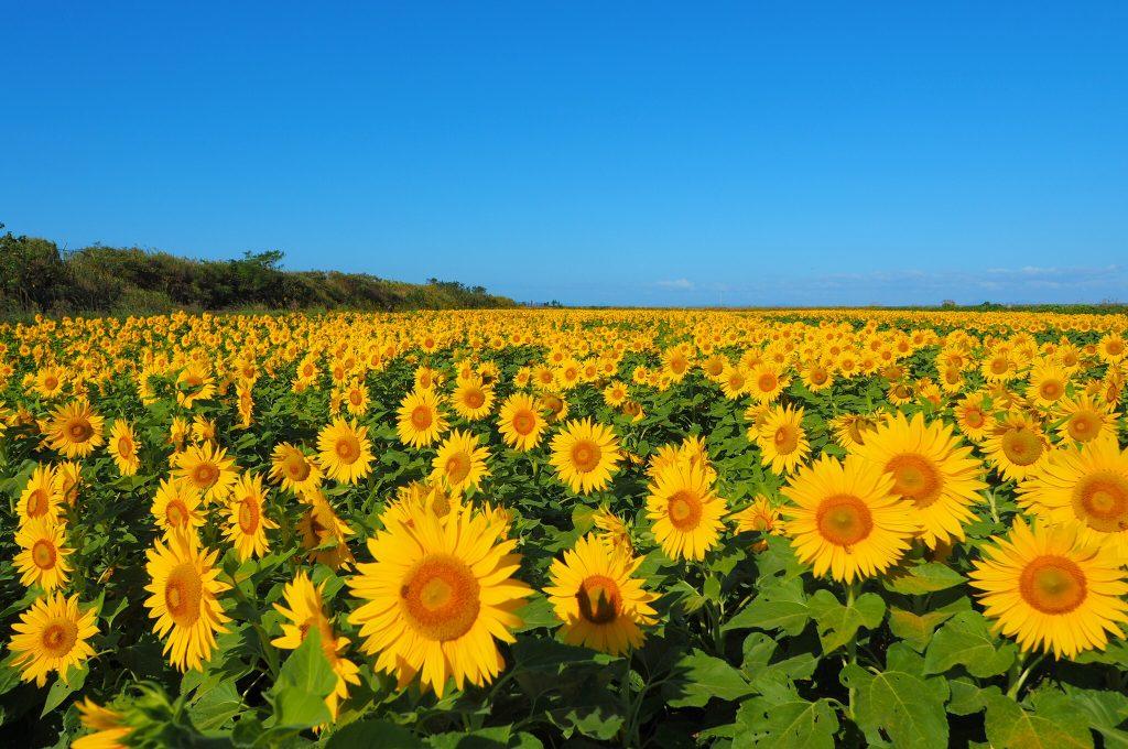 太陽に向かって咲く向日葵