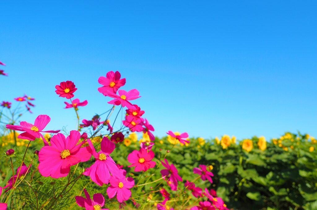 向日葵と秋桜の共演