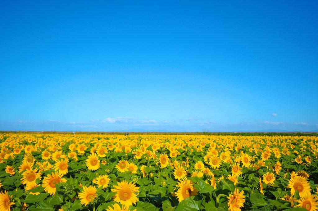 九州新エネルギー機構のひまわり畑