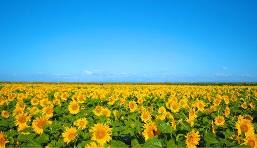 【絶景】秋に咲く20万本のひまわり(大牟田市エコサンクセンターそば)