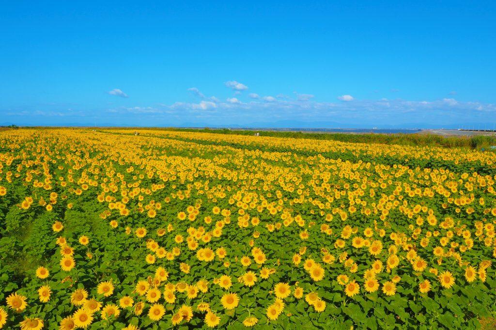 20万本の向日葵
