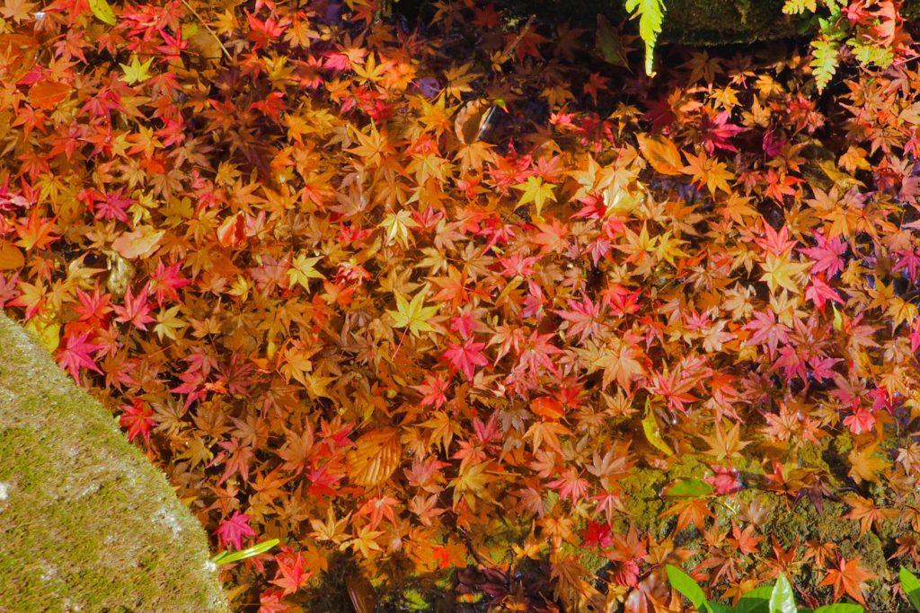 池に落ちたモミジの葉