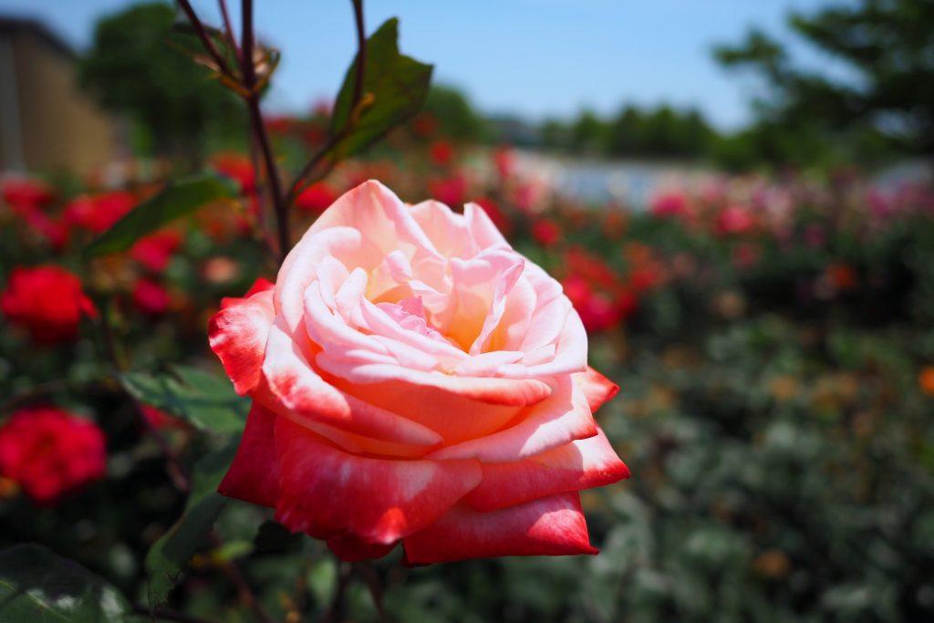 グリーンパークのバラ