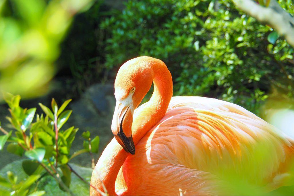 到津の森公園のフラミンゴ
