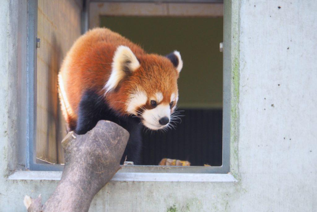 到津の森のレッサーパンダ