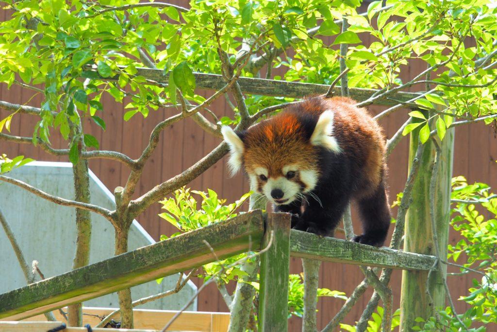 屋外に出たレッサーパンダ