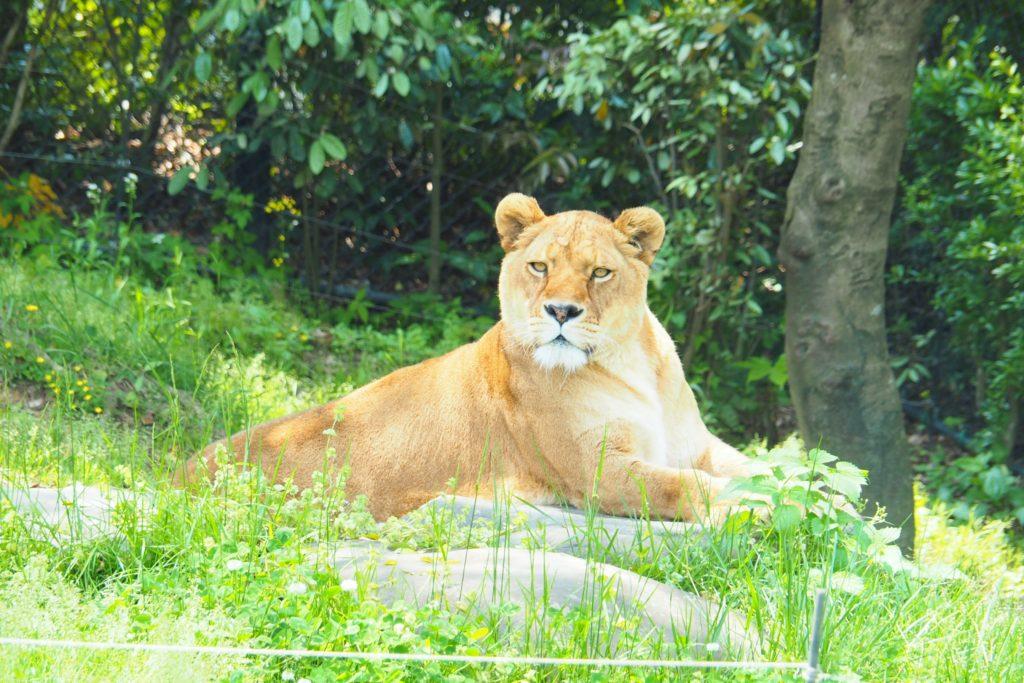 到津の森公園のライオン